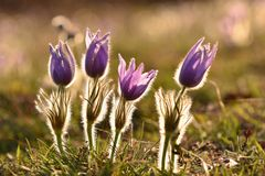 Beautiful purple little furry pasque-flower. (Pulsatilla grandis) Blooming on spring meadow at the sunset. Royalty Free Stock Photography