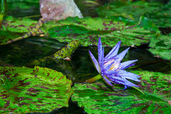 Beautiful purple lotus with dew. Blooming lotus in a calm pond covered in dew drops Stock Photo