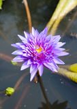 Beautiful purple lotus flower blooming Stock Photos