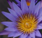 Beautiful purple lotus flower blooming,Purple waterlily Royalty Free Stock Photography