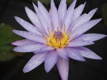 Beautiful purple Lotus Royalty Free Stock Photos