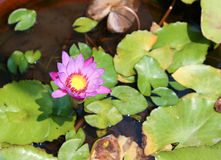 Beautiful purple lotus flower Stock Photo