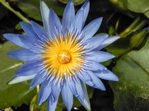 Beautiful purple lotus flower Stock Photos