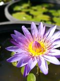 Beautiful purple lotus flower in the sunny day. Beautiful purple lotus flower in the sunny day with shallow depth of field Stock Photo