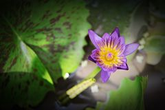 Beautiful purple lotus flower or water lily blooming on pond Stock Photography