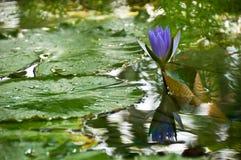 Beautiful purple lotus in garden. Blooming lotus in a calm pond Stock Image