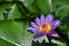 Beautiful purple lotus Royalty Free Stock Image