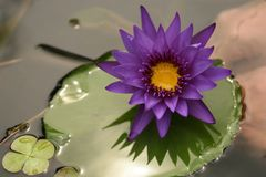 Beautiful Purple Lotus on Lilly Pad Stock Photos