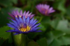 Beautiful purple Lotus Stock Photography