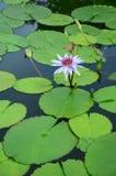 Beautiful purple lotus Stock Photos