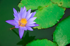 Beautiful purple lotus Stock Photos