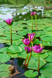 Beautiful purple lotus Royalty Free Stock Image
