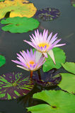 Beautiful purple lotus Royalty Free Stock Photo