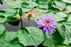 Beautiful purple lotus Royalty Free Stock Images