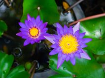 Beautiful purple lotus in the pond, Violet water lily. royalty free stock photography