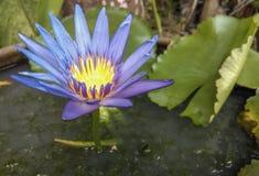 Beautiful purple lotus Stock Image
