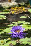 Beautiful Purple lotus and shadow reflected in the water stock image