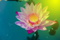 Beautiful purple lotus that stands out in the pool royalty free stock photo