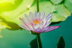 Beautiful purple lotus that stands out in the pool stock photos