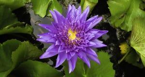 Beautiful purple lotus Royalty Free Stock Images