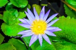 The beautiful purple lotus. The water drop on beautiful purple lotus Stock Images