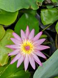 beautiful​ Purple lotus​ water​ lily​ royalty free stock photography