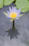 Beautiful Purple Lotus. Water plant with reflection in a pond stock photography