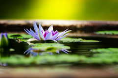 Beautiful Purple Lotus, water plant with reflection Royalty Free Stock Photo