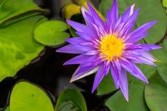Beautiful purple lotus with yellow pollen Stock Image