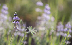 A beautiful purple lupine wildflower. A horizontal image of a purple lupine flower with a blurred background for text Stock Image