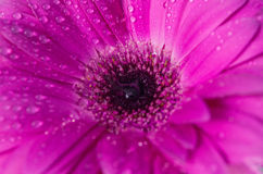 Beautiful purple magenta flower background texture close up.purple gerbera with dew drops on top. Royalty Free Stock Photography