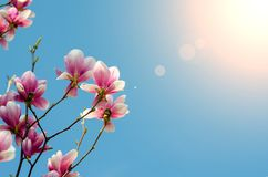 Beautiful purple magnolia flowers blossom in the spring season on the tree with blue sky background and sunlight rays closeup. Royalty Free Stock Photo