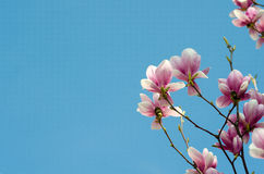 Beautiful purple magnolia flowers in the spring season on the magnolia tree. Blue sky background Stock Images