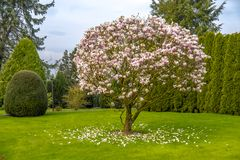 Beautiful purple magnolia tree called `big Dude`.  royalty free stock photography