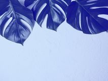 Blue monstera leaves on blue background. stock image