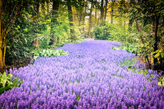 Beautiful purple muscari in Keukenhof Gardens Stock Photo