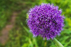 Beautiful purple onion flower. stock photos
