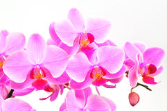 Beautiful purple orchid Royalty Free Stock Photo