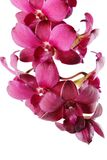 Beautiful Purple Orchid Stock Photos