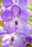 Beautiful purple orchid Royalty Free Stock Photos