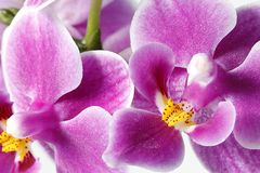 Beautiful purple orchid Royalty Free Stock Photography