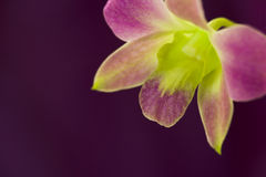 Beautiful purple orchid Royalty Free Stock Images