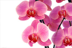 Beautiful purple orchid. On a white background Royalty Free Stock Images