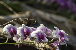Beautiful purple Orchid Background blurred leaves in the garden stock photos