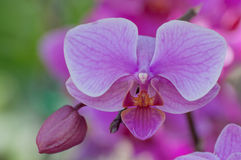 Beautiful purple orchid with blur background Royalty Free Stock Image
