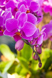 Beautiful purple orchid close up Royalty Free Stock Photos