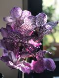 The beautiful purple orchid is die on my table Stock Images