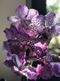 The beautiful purple orchid is die on my table Stock Photo