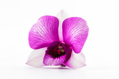 Beautiful purple orchid flower. Royalty Free Stock Image