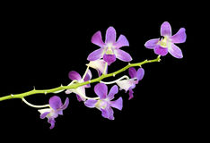 Beautiful purple orchid flower Royalty Free Stock Photography